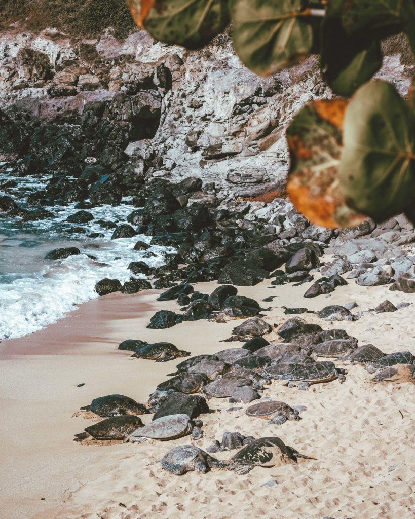 Offbeat Maui Experiences: Sea Turtles at Ho'okipa Beach Park