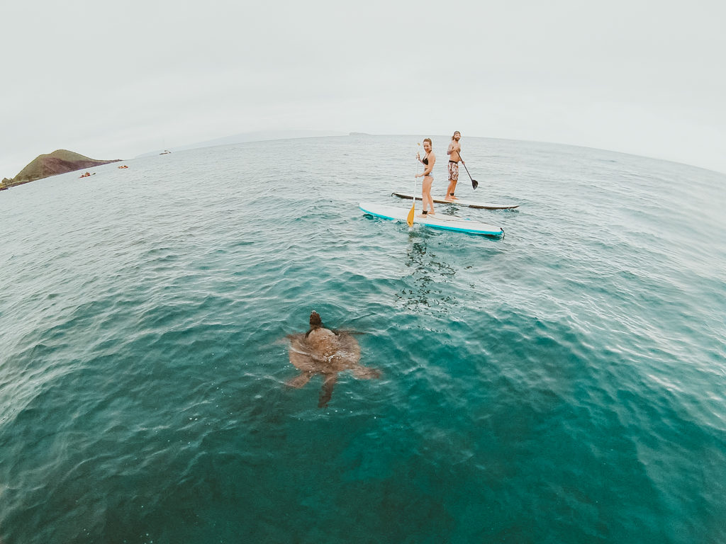 Paddling with green sea turtles in Maui on a stand up paddle board lesson with Maui SUP